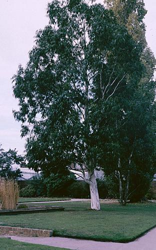 eucalyptus dalrympleana. Black Bedroom Furniture Sets. Home Design Ideas